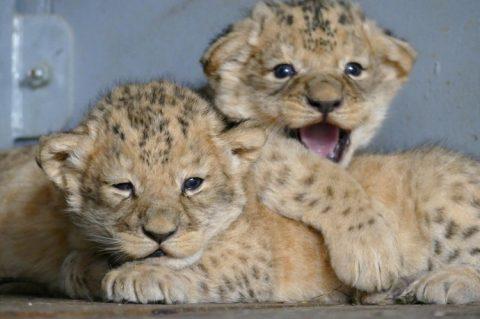 Brno's newborn lion cubs