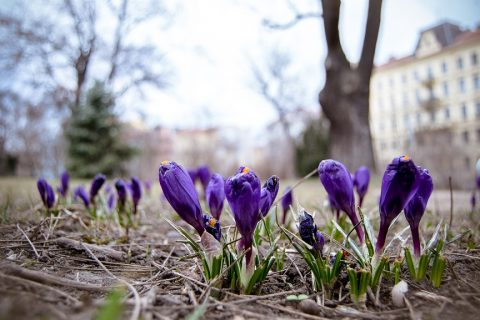 Town Hall announces 'Let Brno-centre Blossom' photo contest