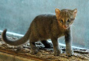 Brno Zoo's Newest Arrival: a Jaguarundi Cub