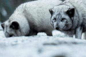 Masaryk Oncology Institute Adopts Arctic Fox in Brno Zoo