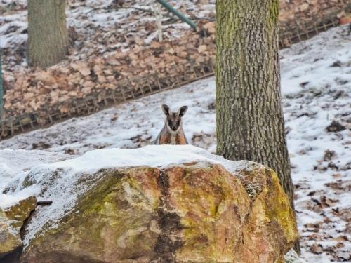 2021-kangaroo-wallaby-joey-credit-brno-zoo