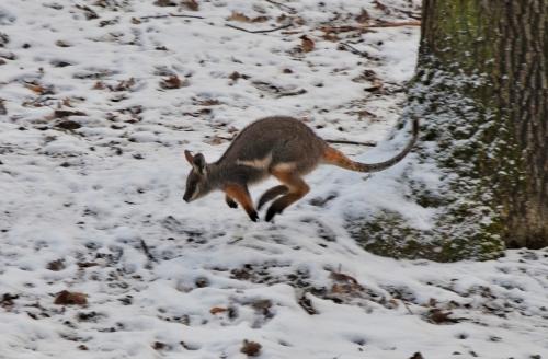 animal-2021-kangaroo-wallaby-joey-credit-brno-zoo